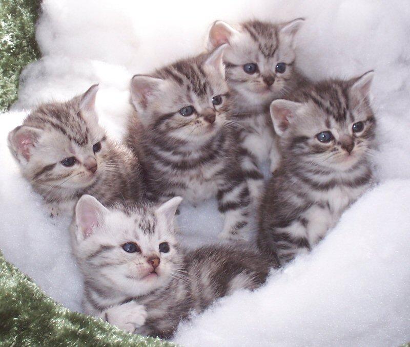 Brazilian Shorthair Kitten: Brazilian American Shorthair Cat Breed