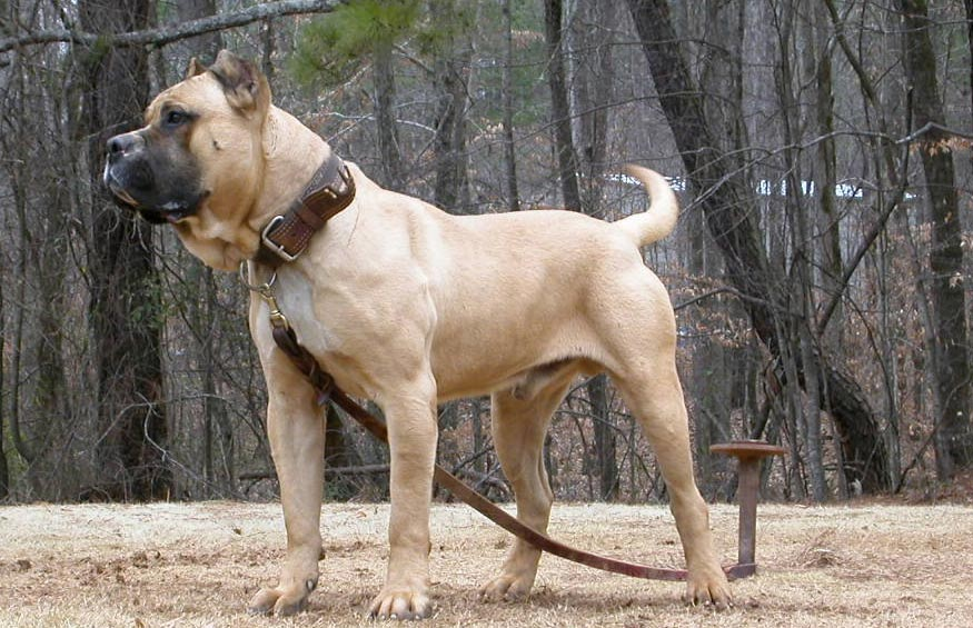 Brazilian Dogo Puppies: Brazilian Archive Breed