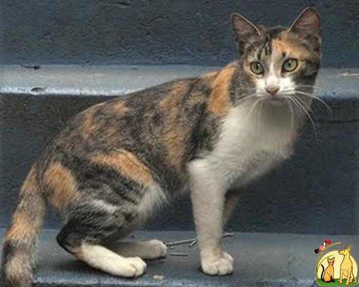 Brazilian Shorthair Cat: Brazilian Brazilian Shorthair Breed