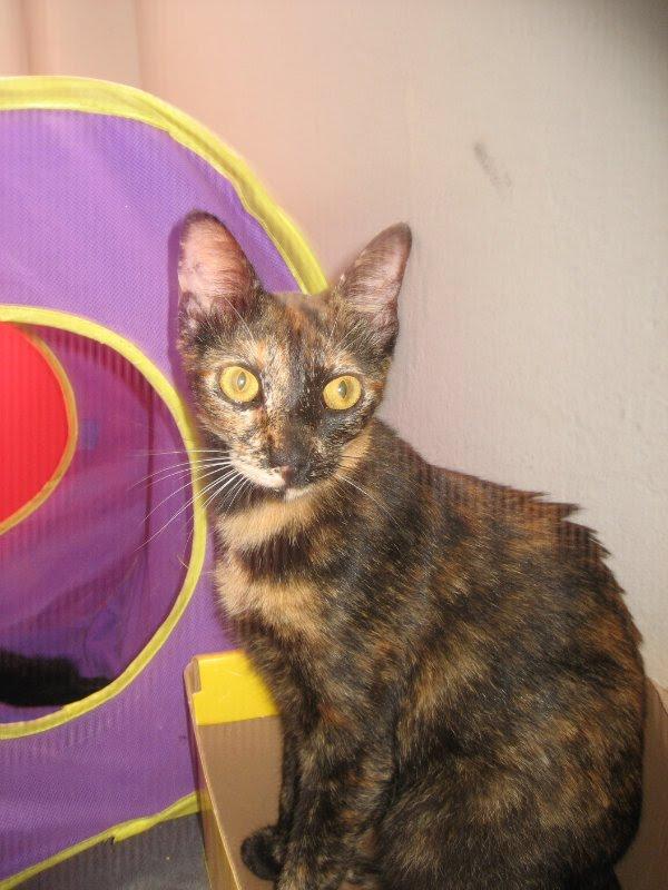 Brazilian Shorthair Cat: Brazilian Brazilian Shorthair Cat Breed