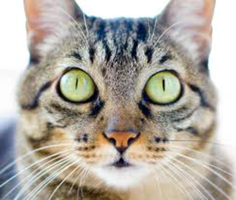 Brazilian Shorthair Kitten: Brazilian Brazilian Shorthair Face Breed
