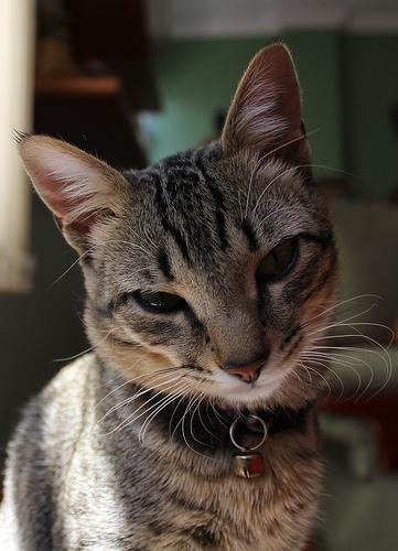 Brazilian Shorthair Cat: Brazilian Brazilian Shorthair Pictures Breed