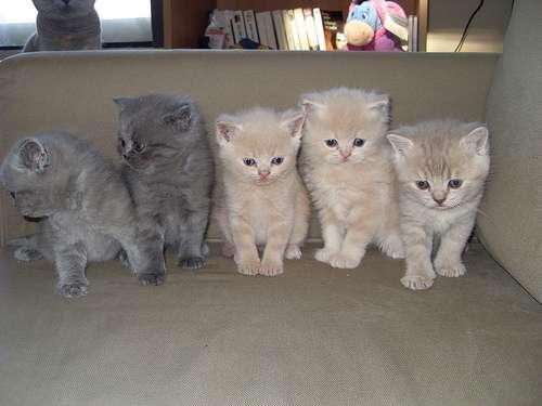 Brazilian Shorthair Kitten: Brazilian Cat Breedsbrazilian Shorthair