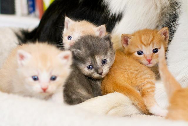 Brazilian Shorthair Kitten: Brazilian Kittens And Their Canine Babysitters Breed