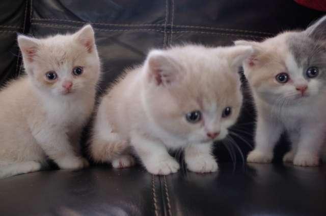 Brazilian Shorthair Kitten: Brazilian Page Breed