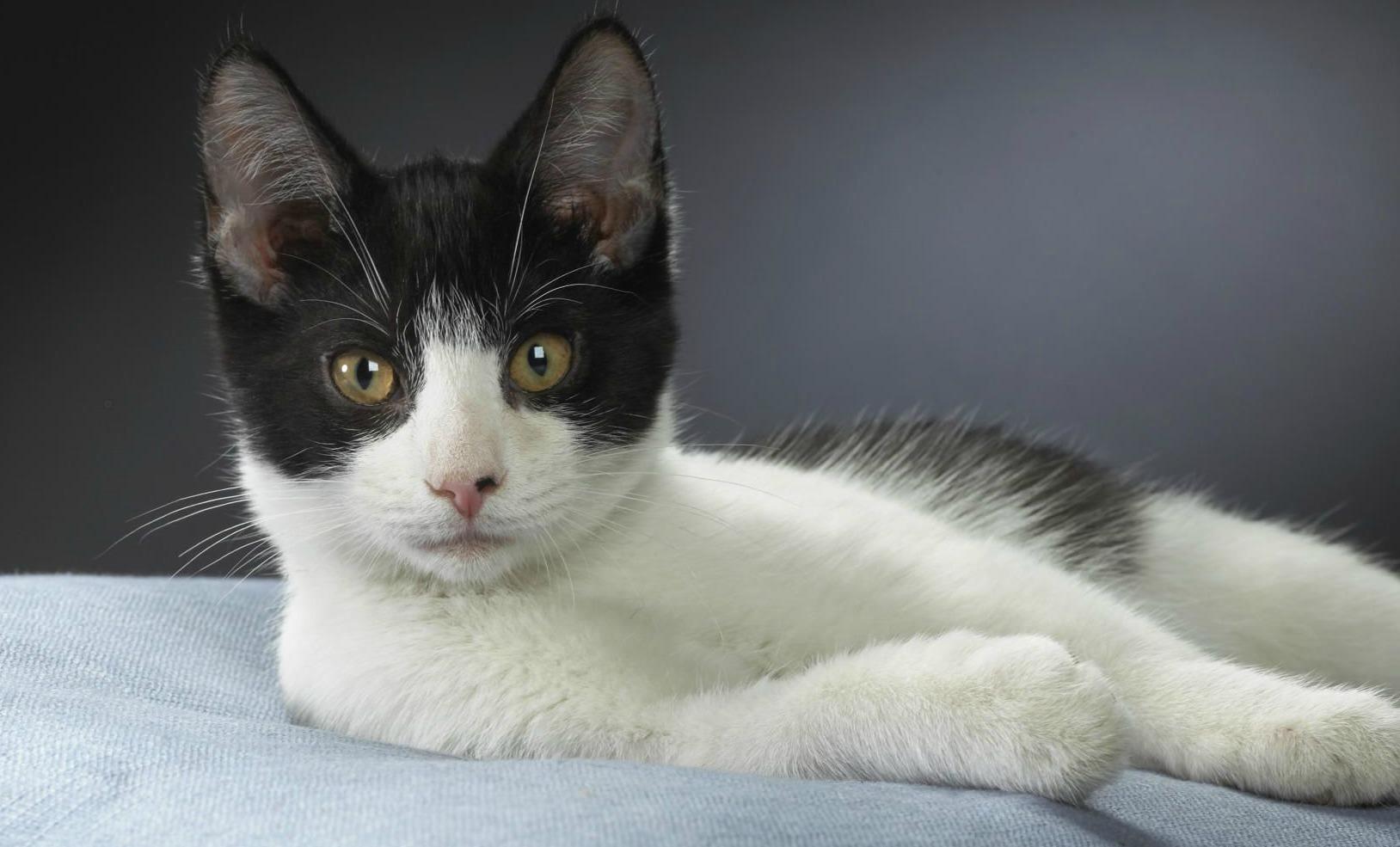 Brazilian Shorthair Cat: Brazilian Pelo Curto Brasileiro Brazilian Shorthair Raca De Gato Brasileiro Reconhecida Internacionalmente Breed