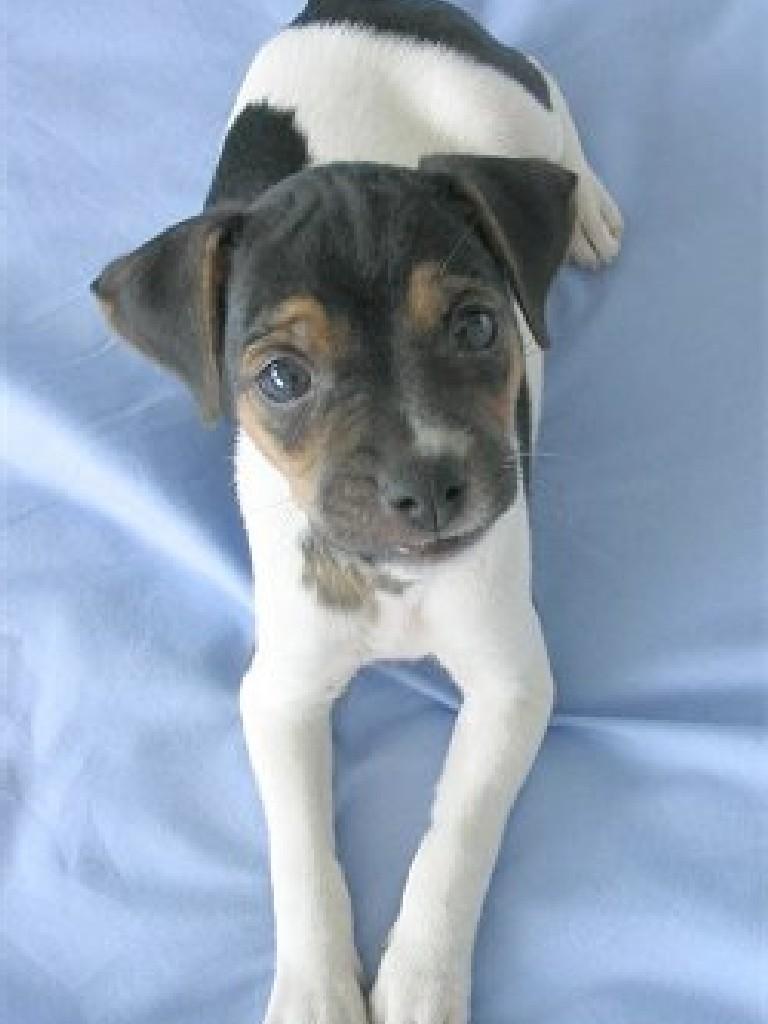 Brazilian Terrier Dog: Brazilian Peludos E Suas Manias Compulsivas Parte Breed