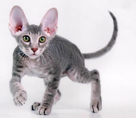 Brazilian Shorthair Kitten: Brazilian Peterbald Russia Kitten Breed