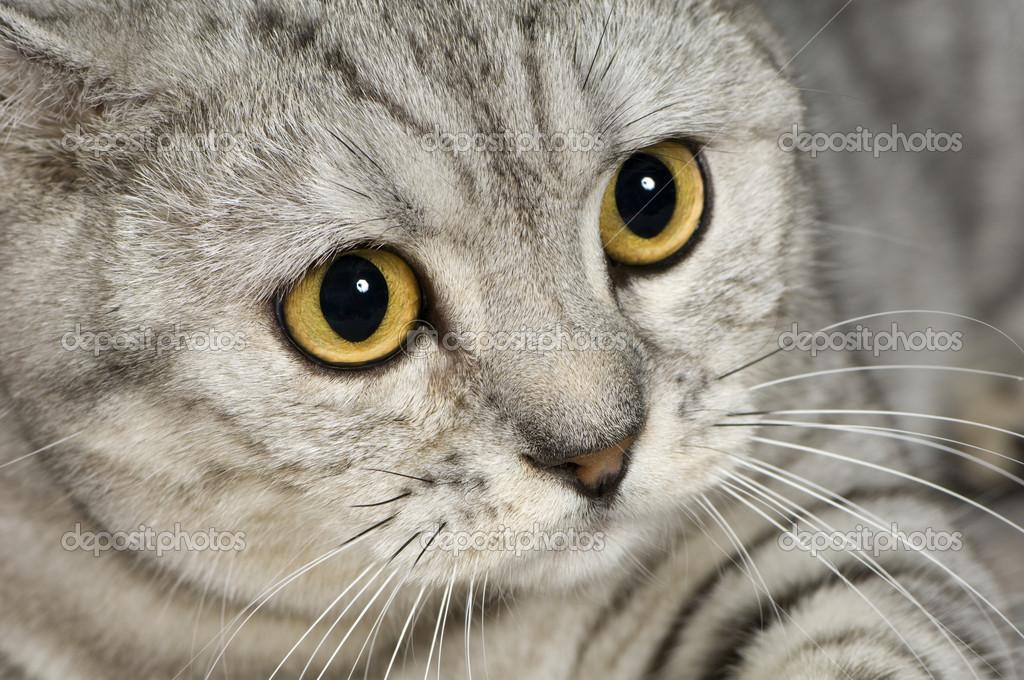 Brazilian Shorthair Cat: Brazilian Stock Brazilian Shorthair Cat Breed