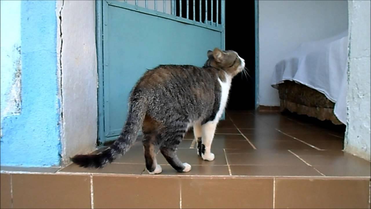 Brazilian Shorthair Cat: Brazilian Watch Breed