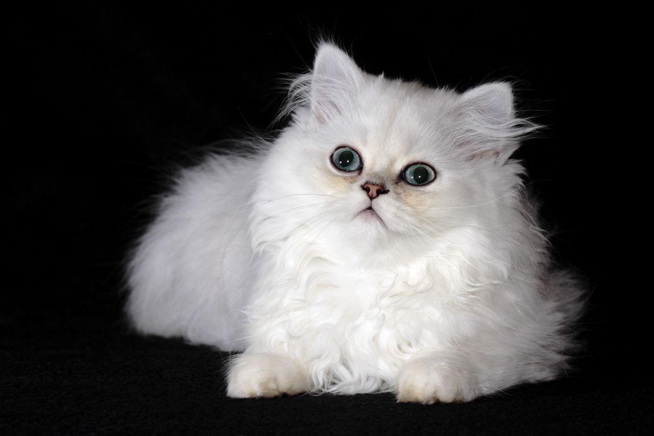 Brazilian Shorthair Kitten: Brazilian What Cat Breed Is My Cat