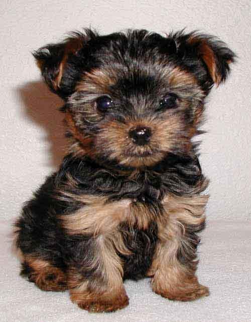 Brazilian Terrier Puppies: Brazilian Yorkies Breed