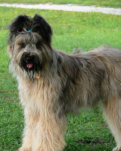 Briard Dog: Briard Breed