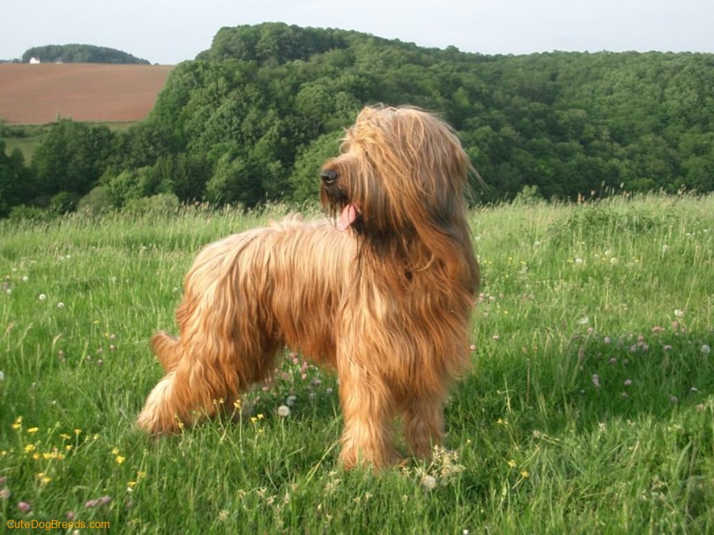 Briard Dog: Briard Briard Dog Breed