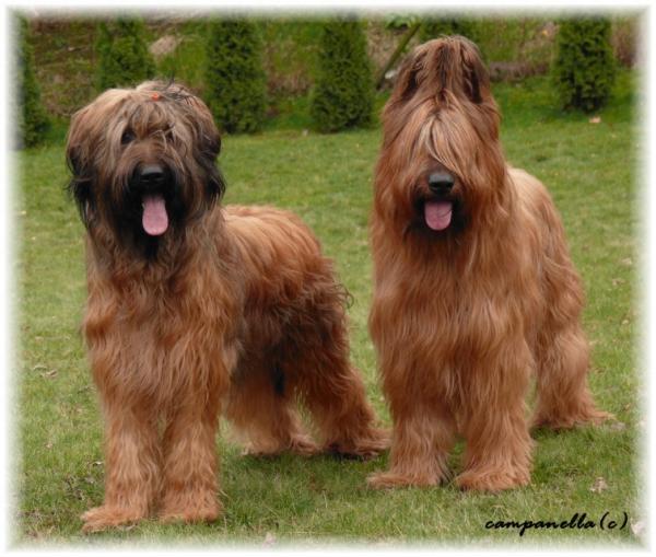 Briard Dog: Briard Briard Dogs Breed