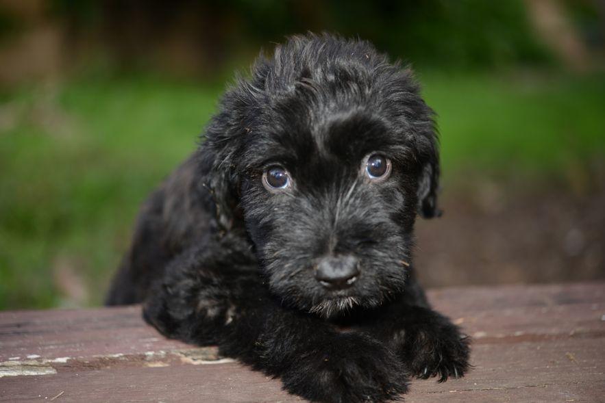 Briard Puppies: Briard Briard Puppies Breed