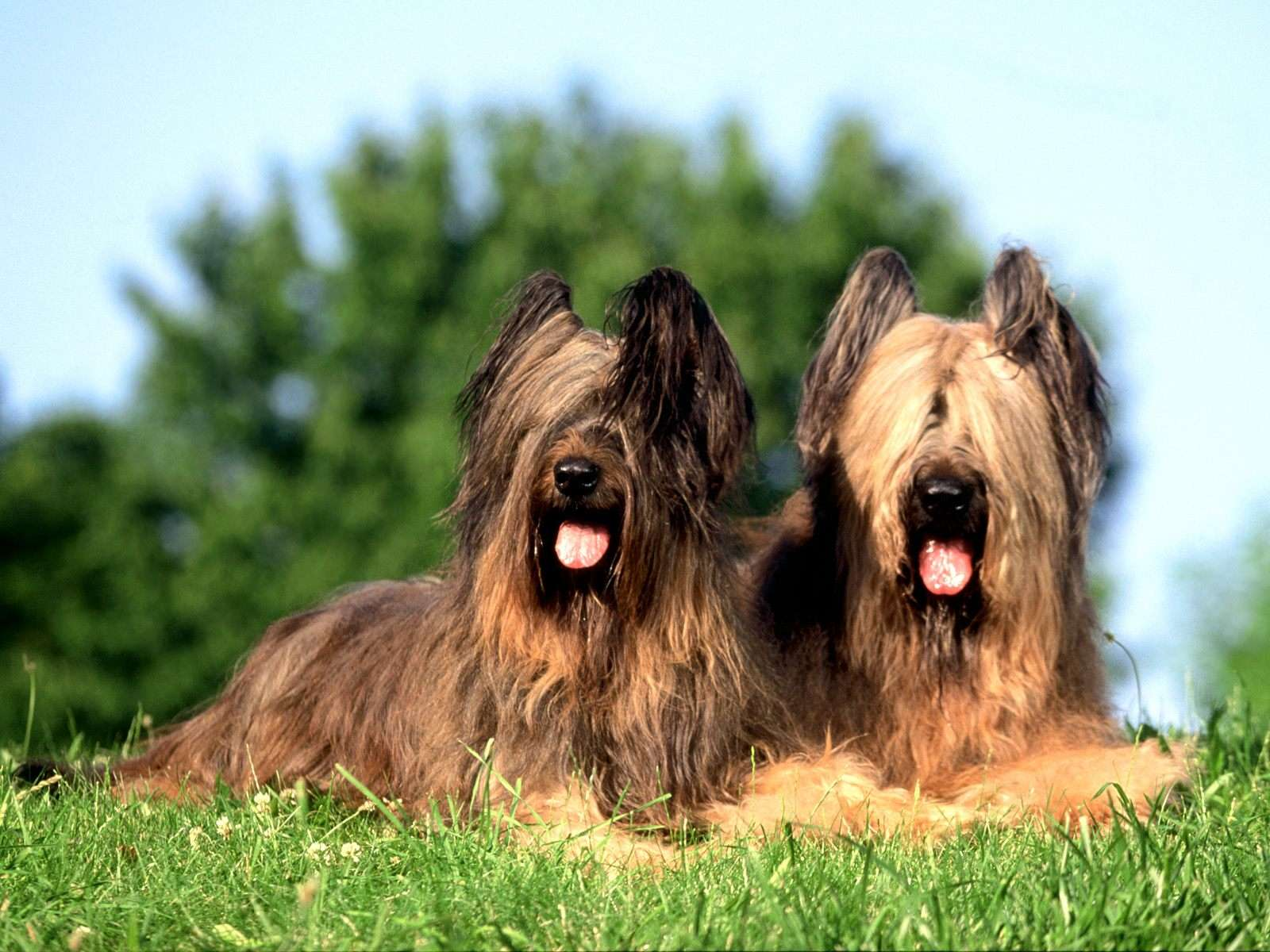 Briard Dog: Briard Couple Of Briard Dogs Breed