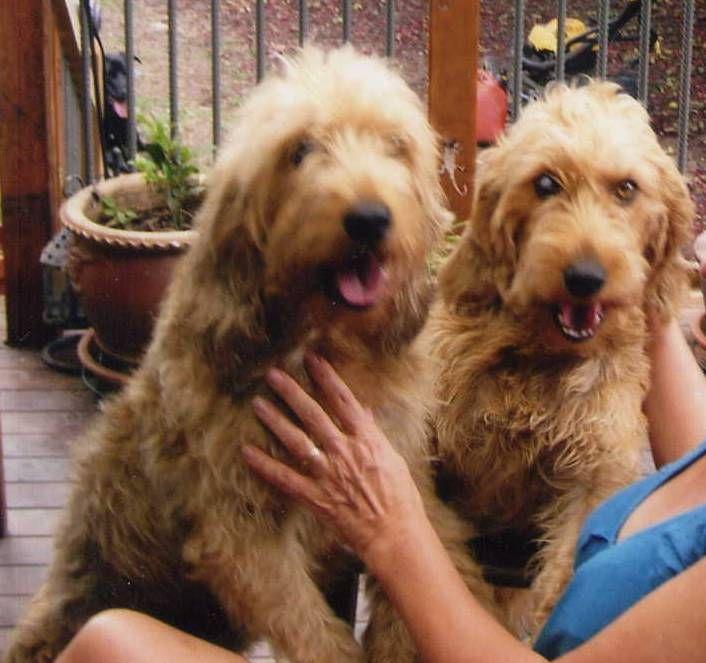 Briquet Griffon Vendéen Puppies: Briquet Basset Griffon Vendeen Briquet Type Puppies Ross On Wye Breed