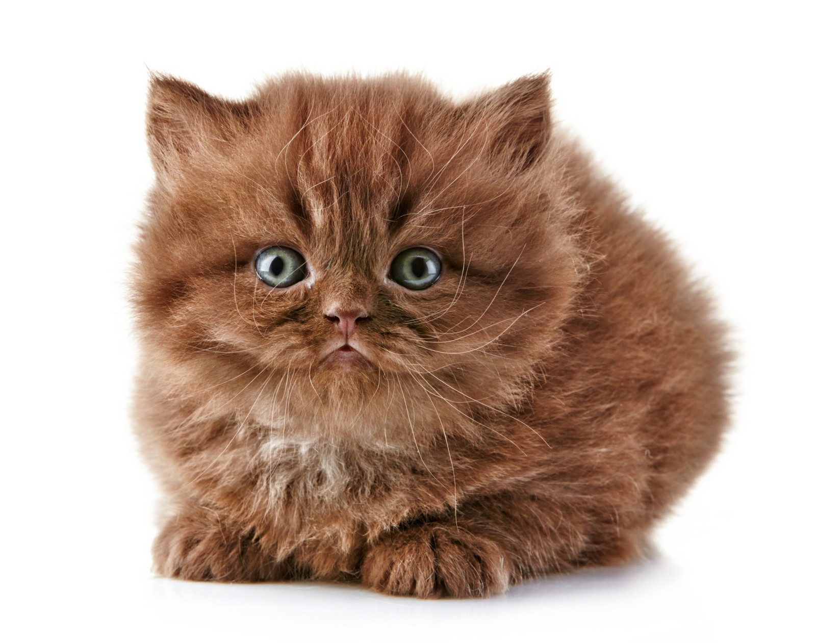 British Semi-longhair Kitten: British Beautiful British Longhair Kitten Breed