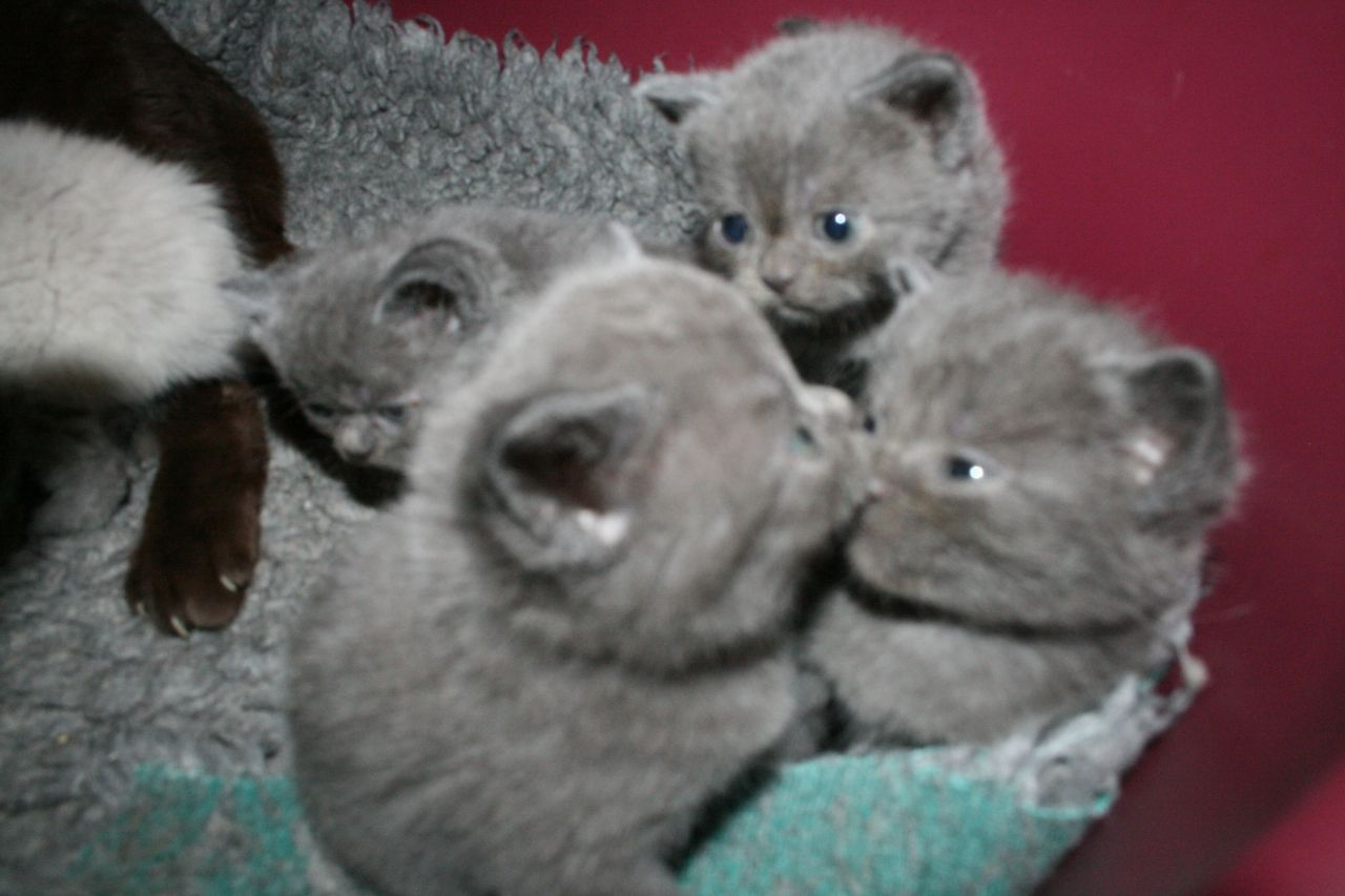 British Shorthair Kitten: British Beautiful British Shorthair Kitten Ashford Breed