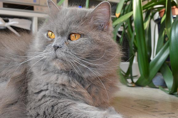 British Semi-longhair Cat: British British Semi Longhair Cat Breed