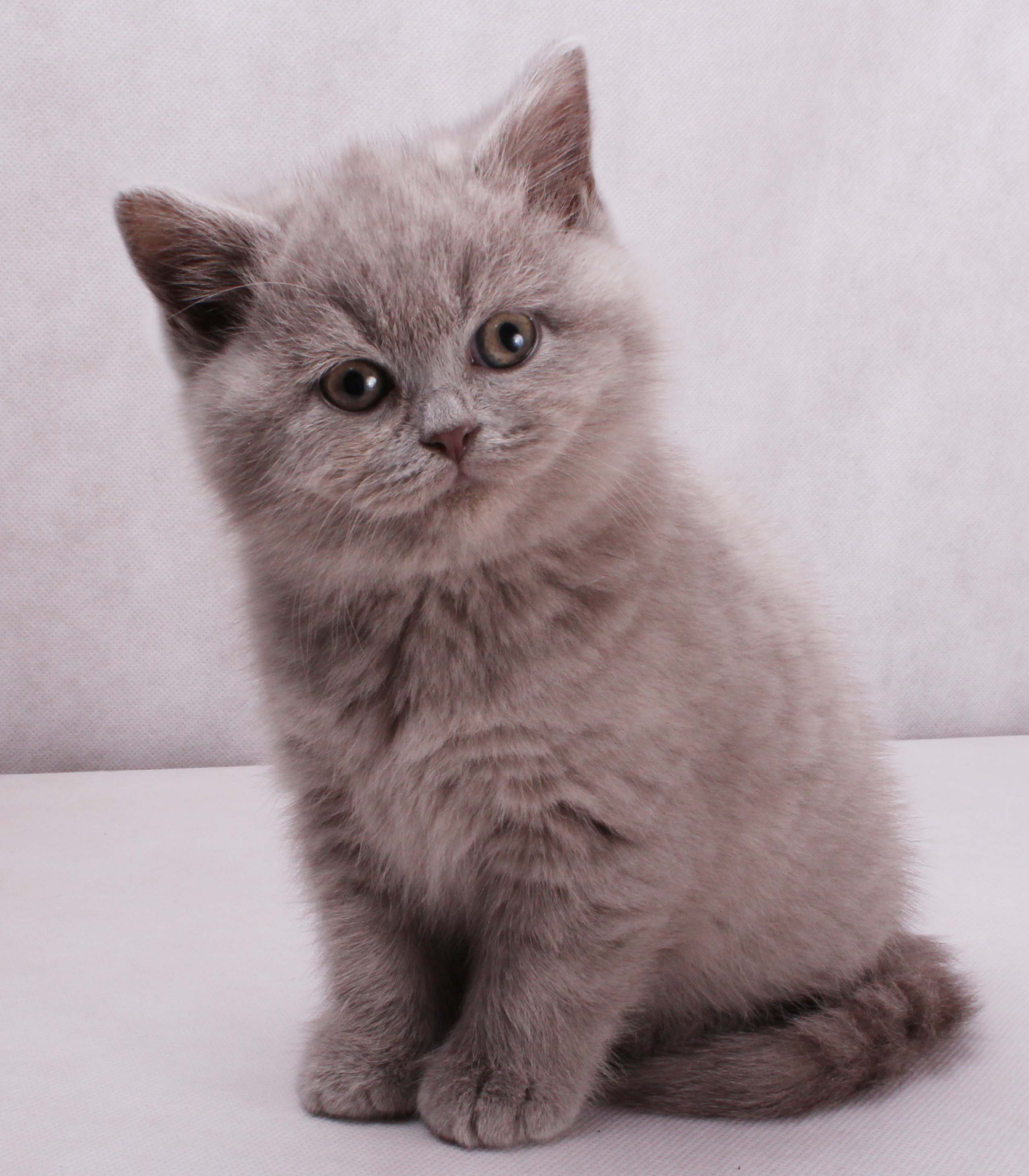 British Shorthair Cat: British British Shorthair Blue Kittens Breed