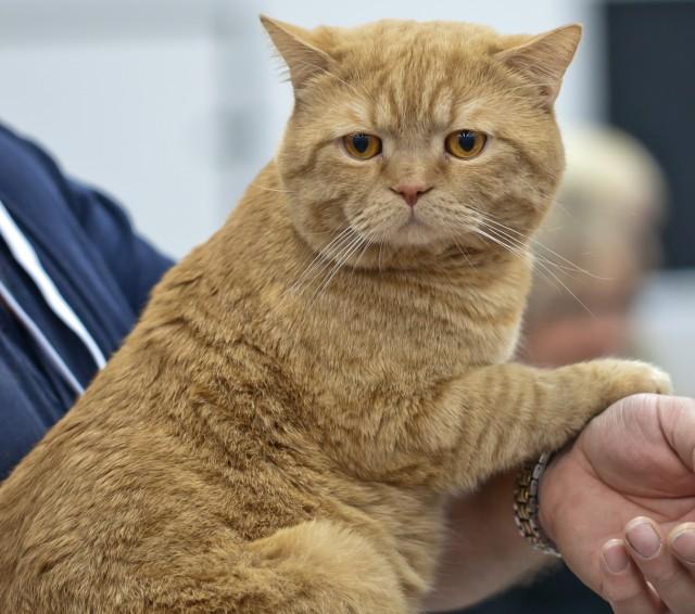 British Shorthair Cat: British British Shorthair Cat Breed Profile