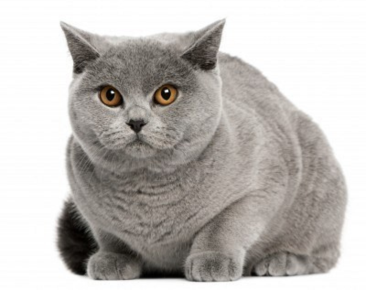 British Shorthair Cat: British British Shorthair Cat Pictures Breed