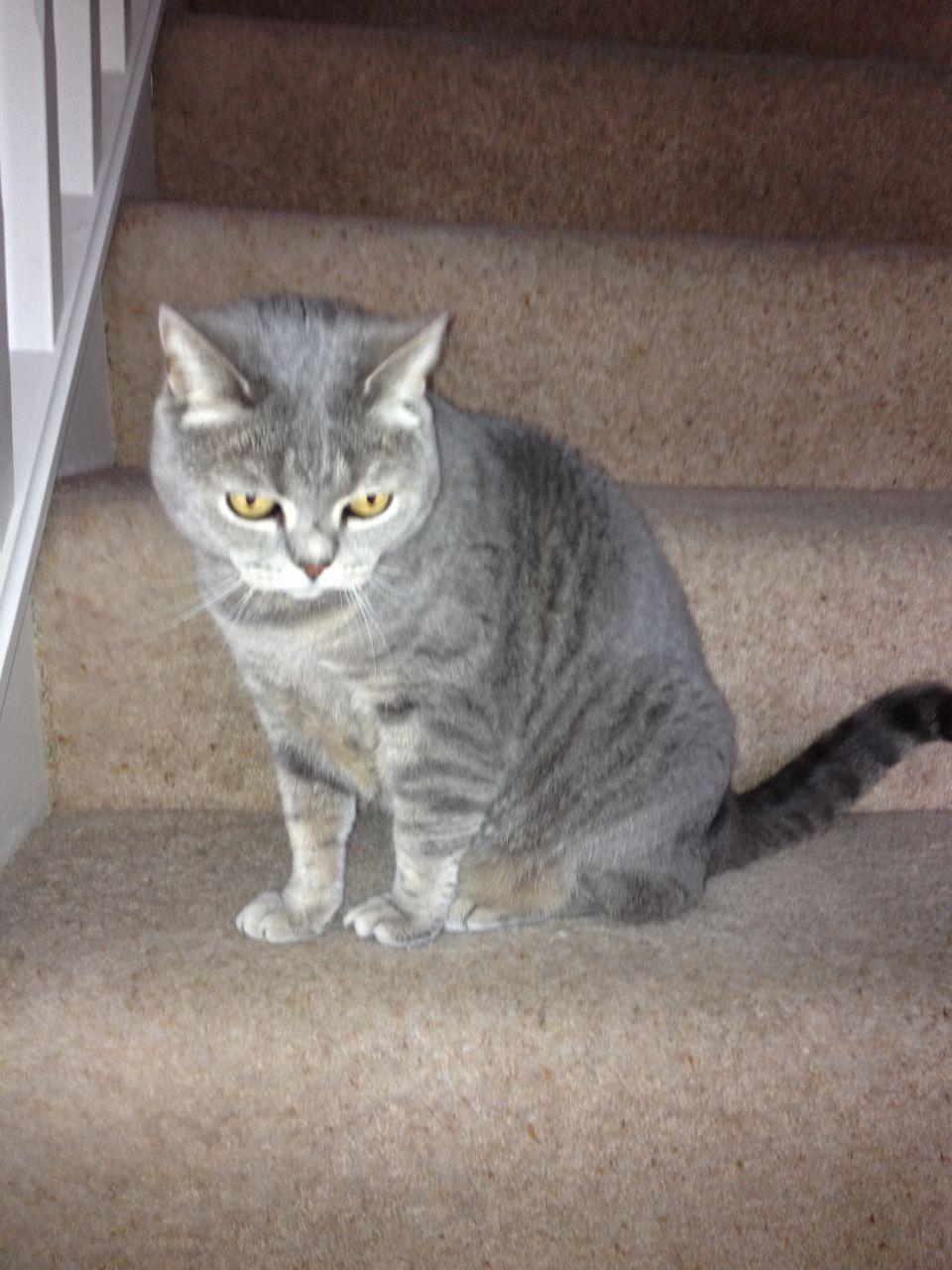 British Shorthair Cat: British British Shorthair Cat Wakefield Breed