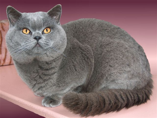 British Shorthair Cat: British Britishshorthair S Breed