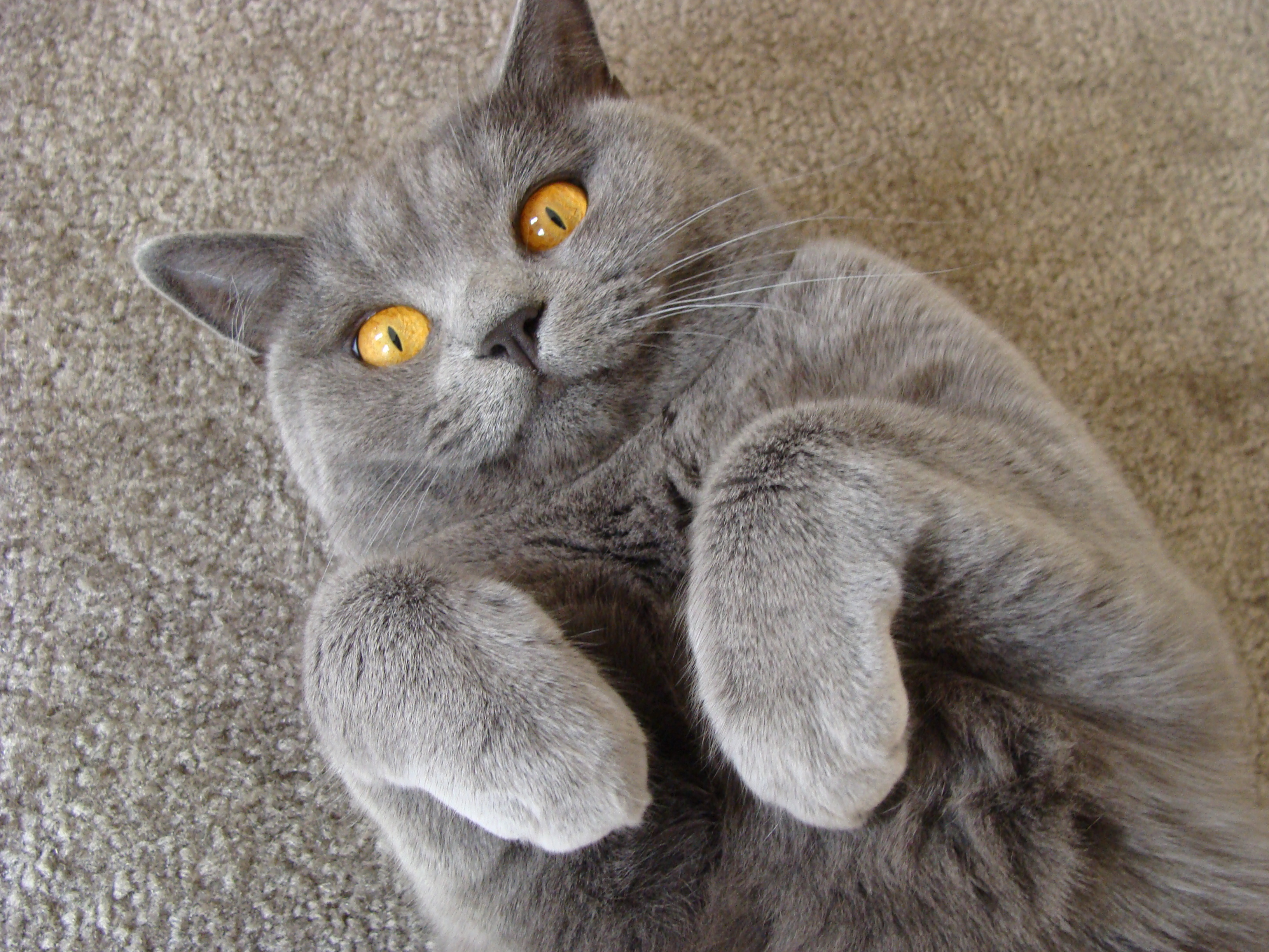British Shorthair Cat: British Britishshorthaircinnamonkitten Breed
