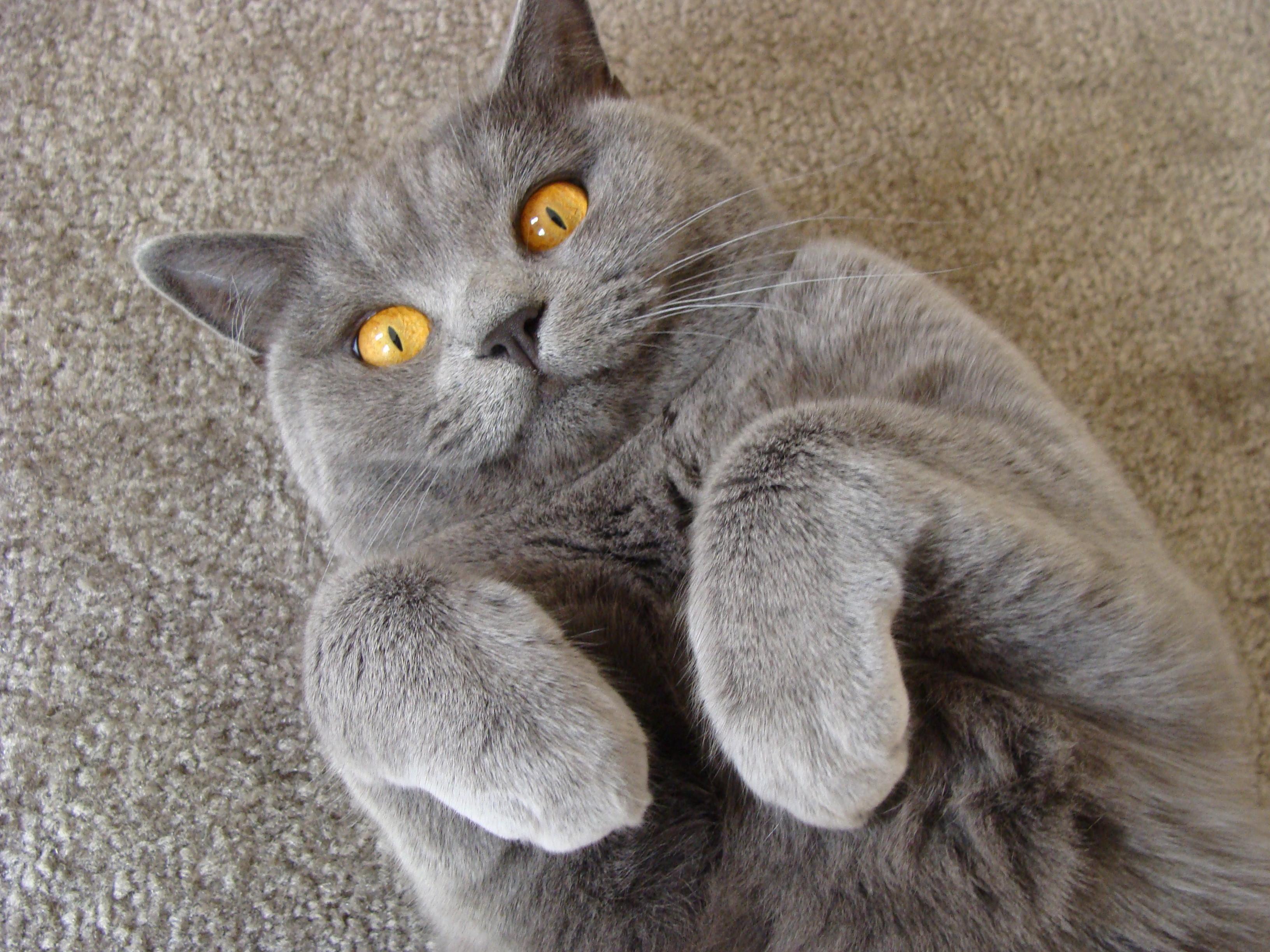 British Shorthair Cat: British Britishshorthaircinnamonkitten Breed