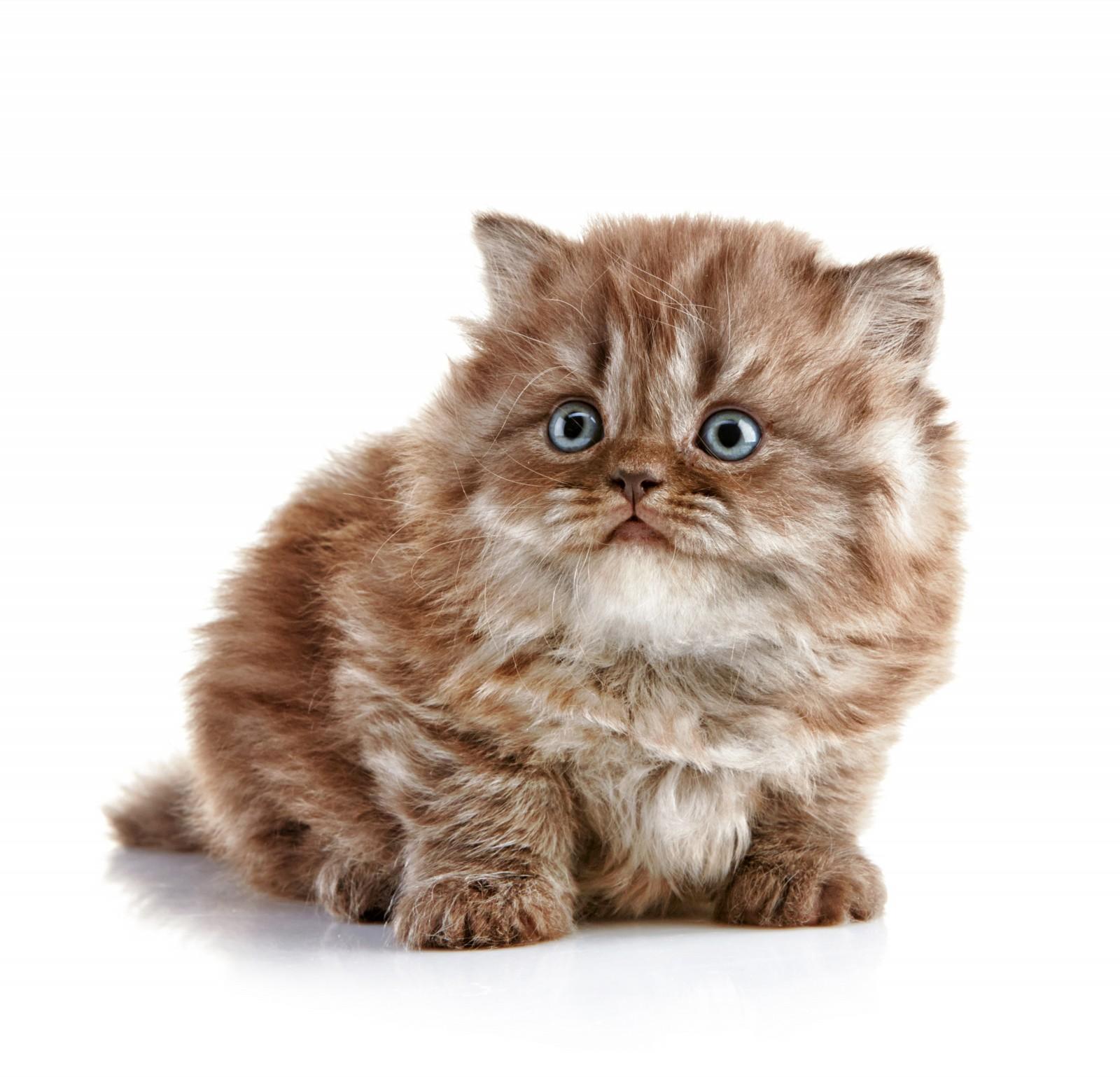 British Longhair Kitten: British Charming British Longhair Kitten Breed