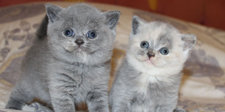 British Shorthair Cat: British Fotothing Breed