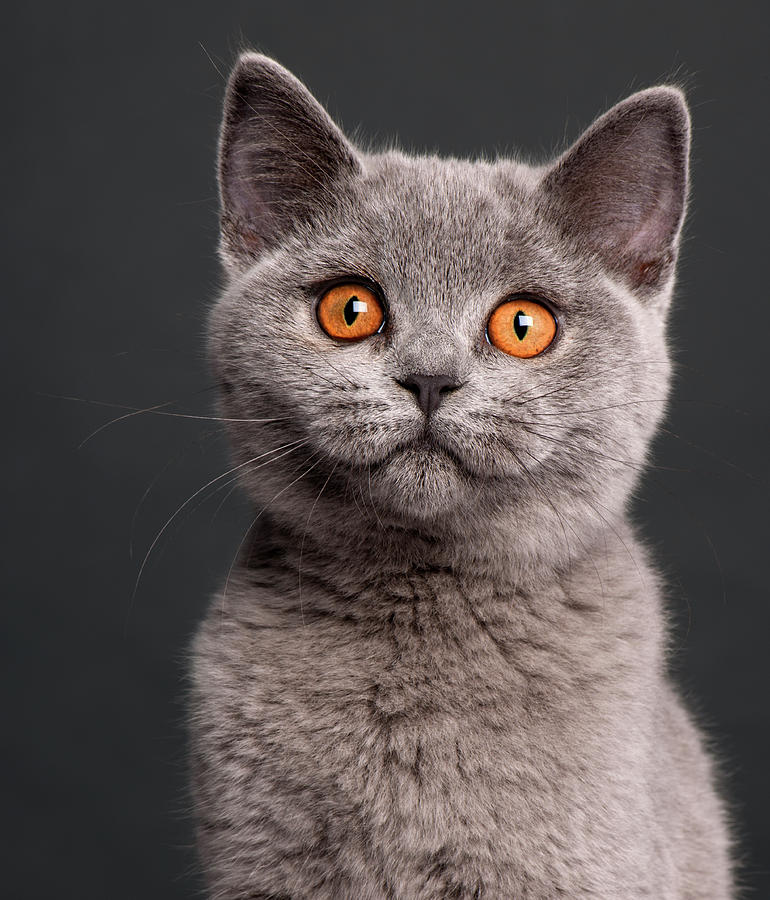 British Shorthair Cat: British I Breed