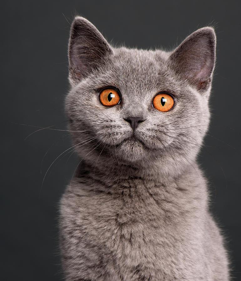 British Shorthair Cat: British I Breed