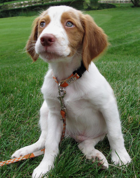 Brittany Dog: Brittany Murphy The Brittany Breed
