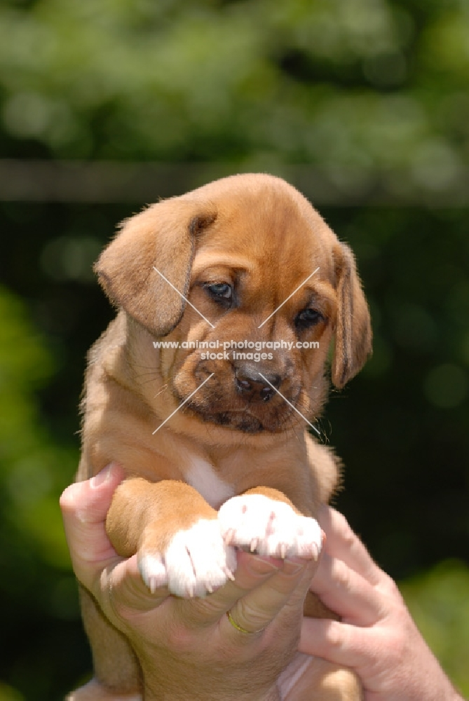 Broholmer Puppies: Broholmer Broholmer Puppies Breed
