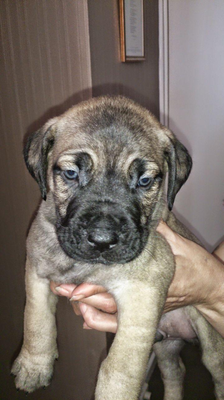 Broholmer Puppies: Broholmer Bull Mastiff X Danish Mastiff Broholmer Puppies Leeds Breed