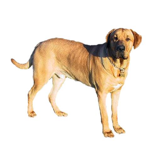 Broholmer Dog: Broholmer Danish Broholmer Breed