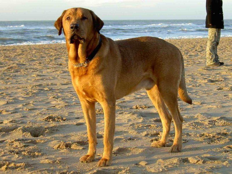 Broholmer Puppies: Broholmer Danishbroholmer Breed