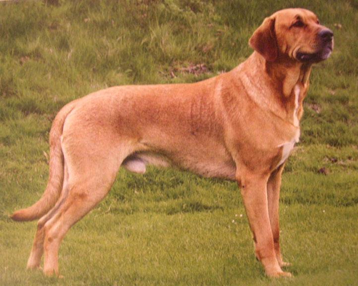 Broholmer Dog: Broholmer Ras Verschillen Breed