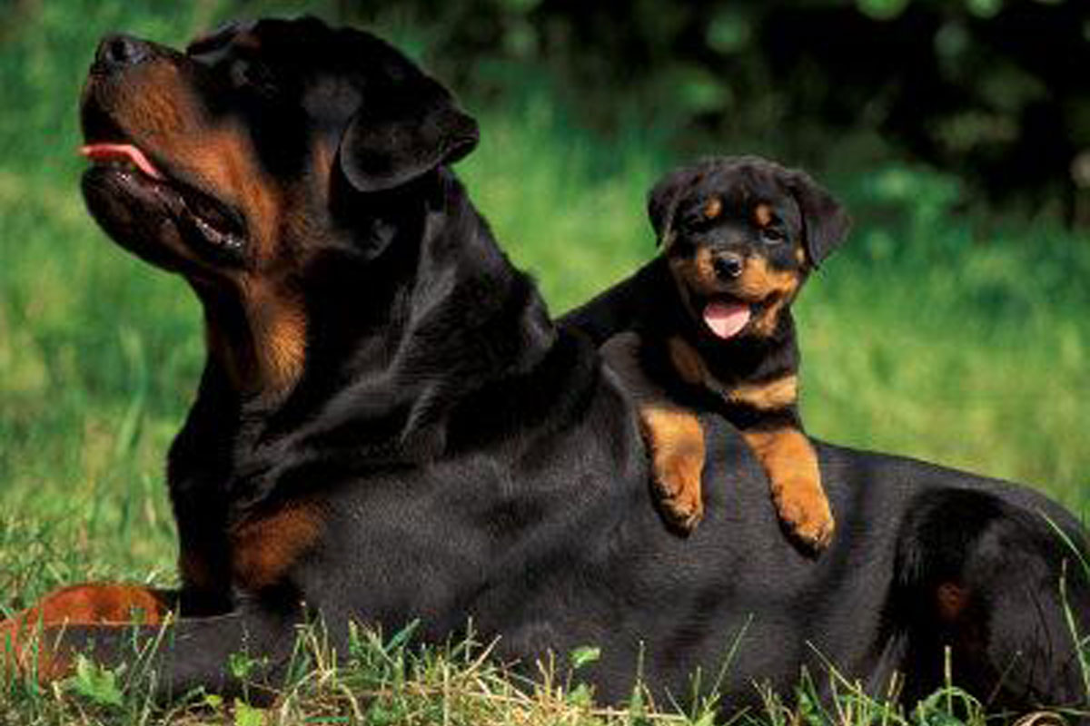Broholmer Puppies: Broholmer Rottweiler Puppies For Sale Breed