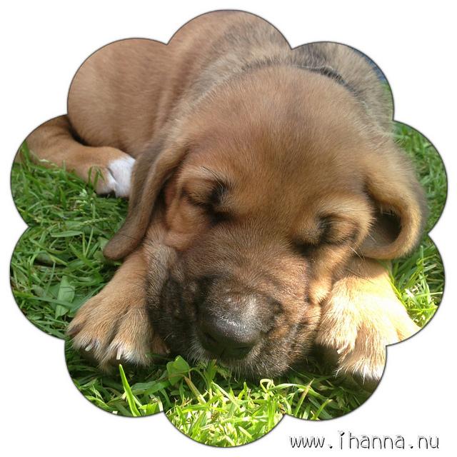 Broholmer Puppies: Broholmer Summer Crush Broholmer Puppies Breed