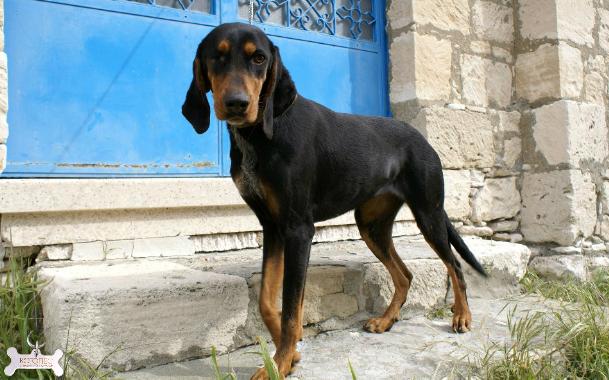 Bruno Jura Hound Dog: Bruno Jura Haund Bruno De Jura Breed