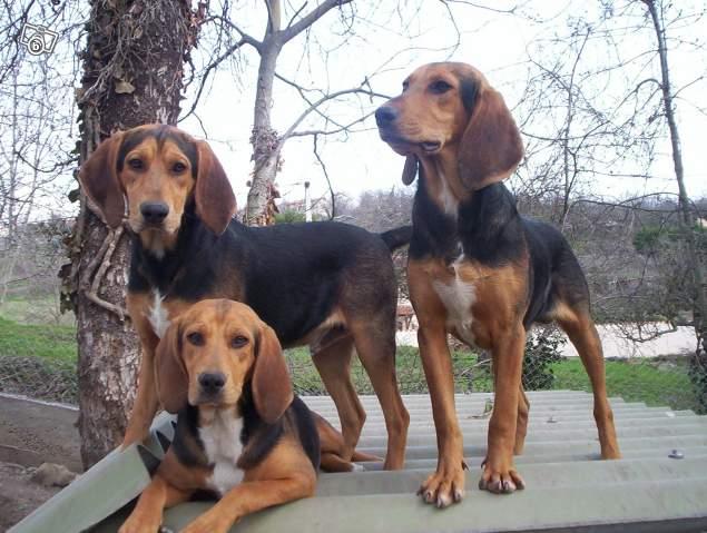 Bruno Jura Hound Dog: Bruno Know About Bruno Jura Hound Breed
