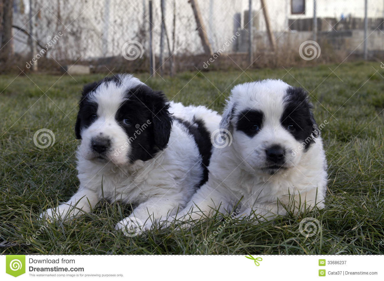 Bucovina Shepherd Puppies: Bucovina Bucovina Shepherd Dog Puppies Breed
