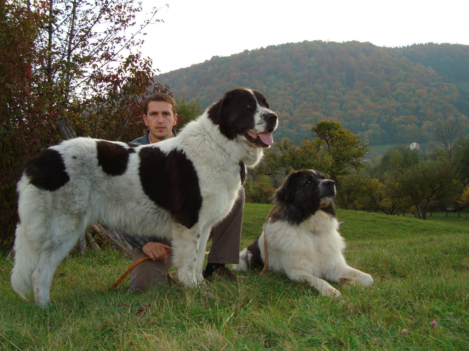 Bucovina Shepherd Dog: Bucovina Know About Bucovina Shepherd Dog Breed