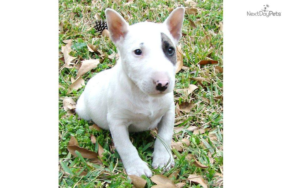 Bull Terrier (Miniature) Puppies: Bull Breed
