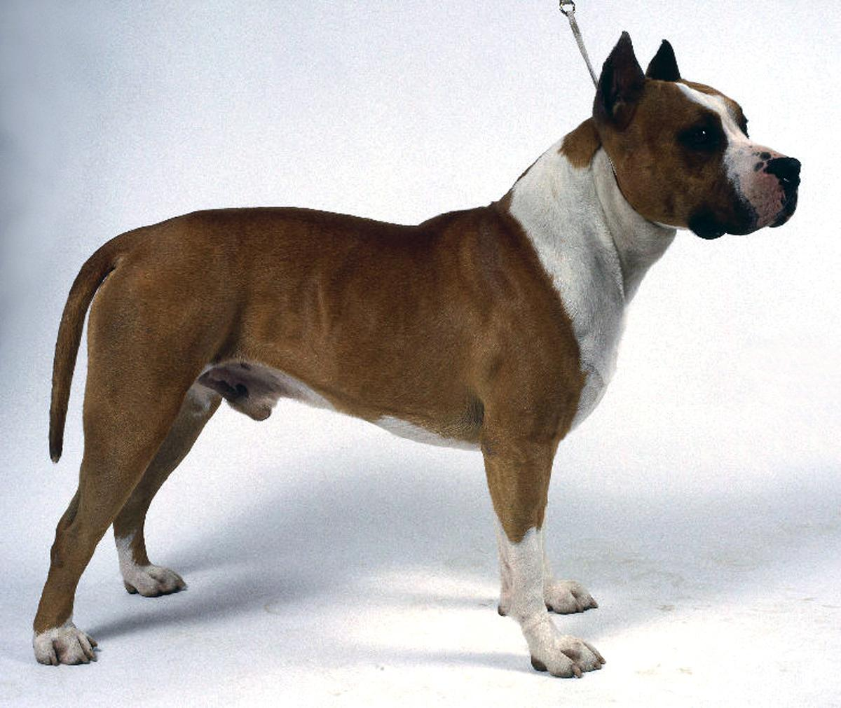 Bull and Terrier Dog: Bull Bull And Terrier Dog In Rack Breed
